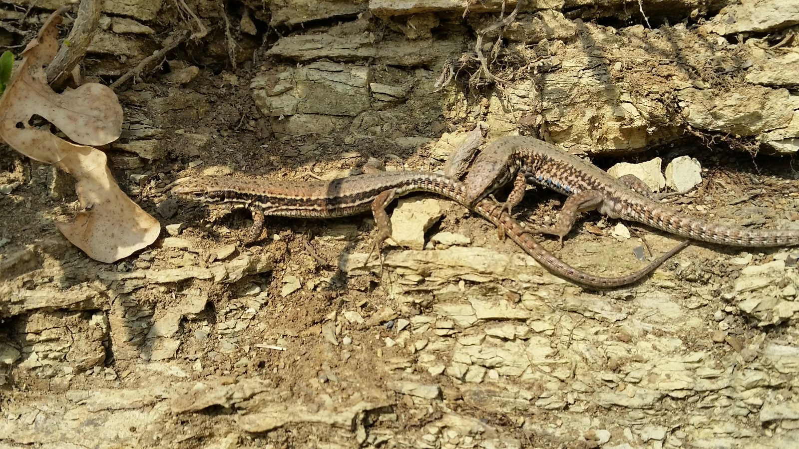 Lizards mating in spring